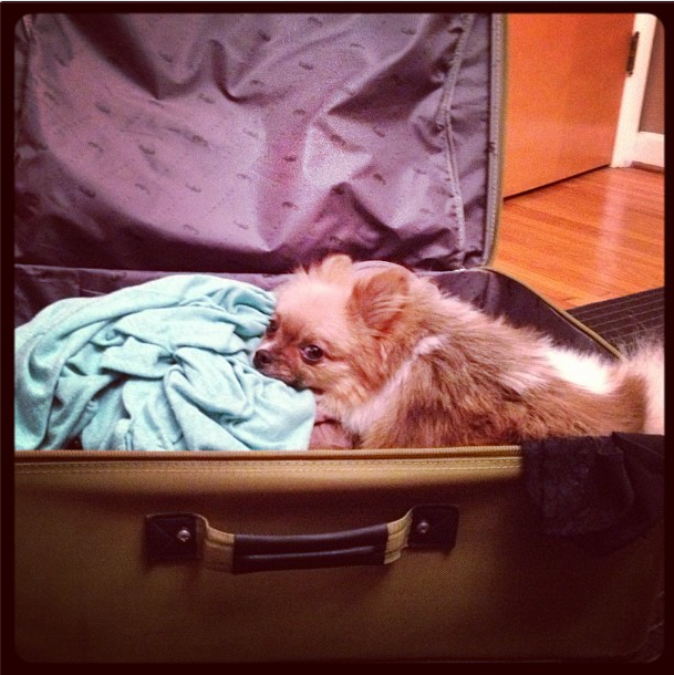 Gomez the pomeranian in his space car aka my suitcase