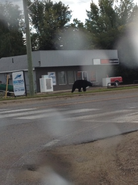 Bear in Clear Lake Manitoba