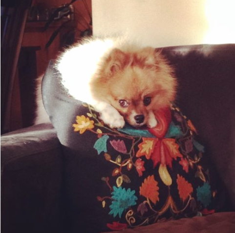 gomez the pomeranian