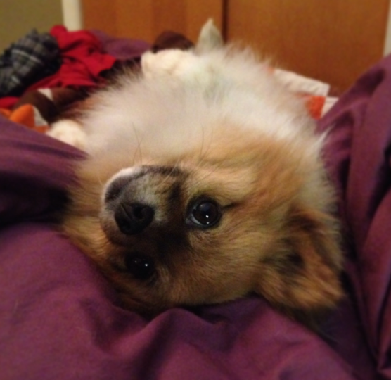 gomez the pomeranian being silly