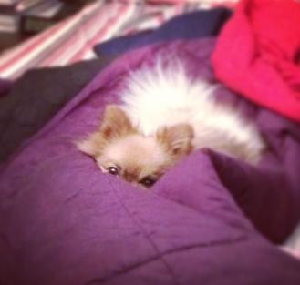 gomez the pomeranian in bed