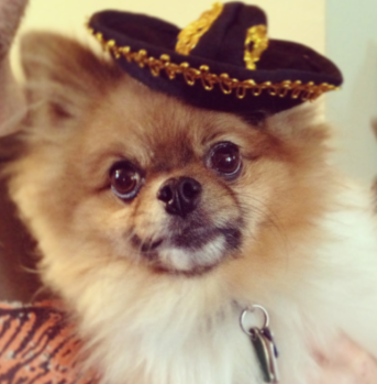 gomez the pomeranian wearing hat